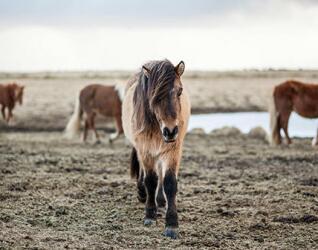 Island Urlaub Islandpferd
