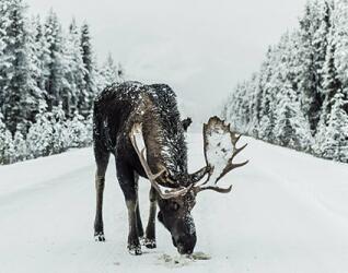 Kanada Rundreise Elch