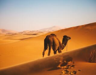 Marokko Kamel