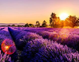 Frankreich Rundreise Lavendelfelder