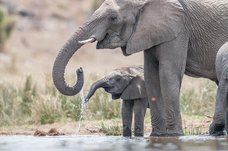 Elefanten Krüger National Park